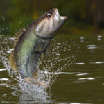 Are Largemouth Bass Good to Eat?