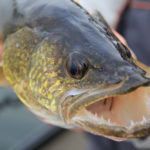 Walleye Teeth Facts: Everything You Need To Know